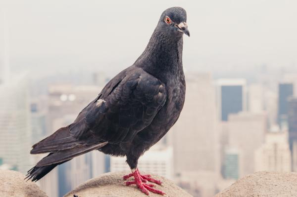 Google-Pigeon